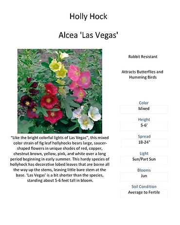 Alcea \'Las Vegas\' (Holly Hock)