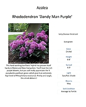 Rhododenderon \'Dandy Man Purple\'
