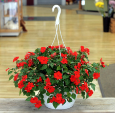"Impatiens, Shade 10"" Hanging Basket Special"