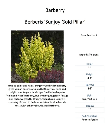 Berberis \'Sunjoy Gold Pillar\' (Barberry)