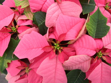 Poinsettia Branched 4.5""