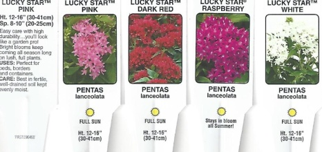 "Pentas \'Lucky Star\' 4.5"" Pot or 10\"" Hanging Basket"