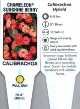 "Calibrachoa, Single (Million Bells) 4"" Pot or 10\"" Hanging Basket"