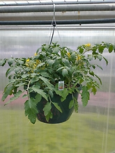 "Tomato \'Tumbling Tom\' 12"" Hanging Basket"