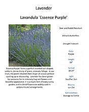 Lavender \'Essence Purple\'
