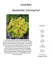 Heucherella (Foamy Bells)