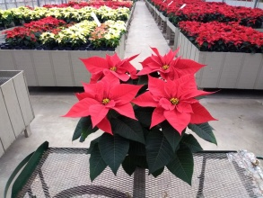Poinsettia 4 Bloom
