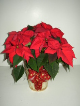 Poinsettia Branched 6.5""