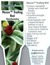 "Dorotheanthus \'Mezoo Trailing Red\' 4"" Pot"