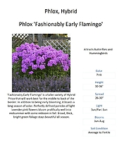 Plox \'Fashionably Early Flamingo\' (Tall Garden Phlox)