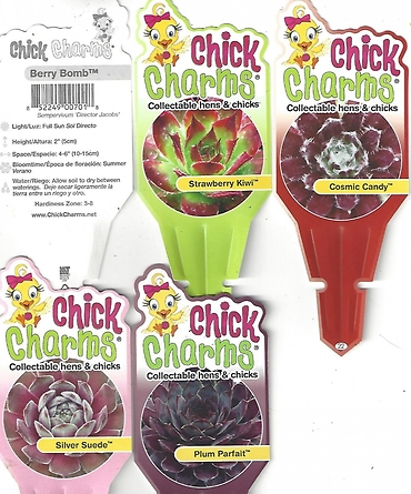 "Sempervivum \'Chick Charms\' (Hens & Chicks) 4"" Pot"