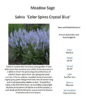 Salvia (Meadow Sage)