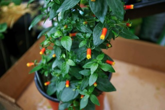 Manettia (Candy Corn Vine) 1 Gallon Pot