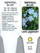 Plumbago \'Imperial Blue\' 1 Gallon Pot