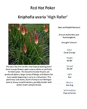 Kniphofia uvaria \'High Roller\' (Red Hot Poker)