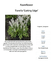 Tiarella \'Cutting Edge\' (Foamflower)