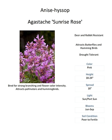 Agastache (Anise-hyssop)