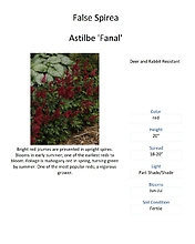 Astilbe (False Spirea)