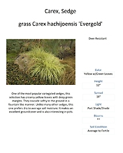 Grass - Ornamental