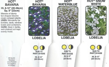 "Lobelia \'Hot Series\' 4.5"" Pot"