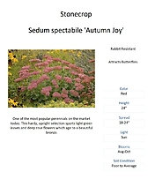 Sedum \'Autumn Joy\' (Stonecrop