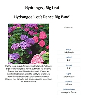 Hydrangea (Big Leaf & Mountain Varieties)