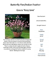 Gaura (Indian Feather / Butterfly flower)