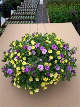 "Calibrachoa (Million Bells) Mixed 10"" Hanging Baskets"