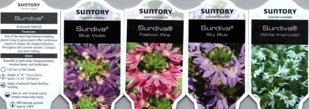 "Scaevola \'Surdiva\' (Fan Flower) 12"" Hanging Basket"