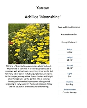 Achillea \'Moonshine\' (Yarrow)