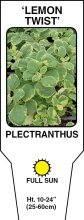 "Plectranthus \'Lemon Twist\' 4.5"" Pot"