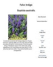 Baptisia (False Indigo)