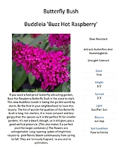 Buddleia (Butterfly Bush)
